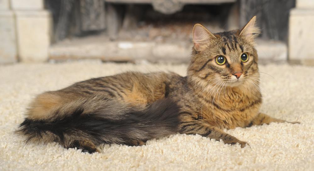 cat-urine-on-carpet